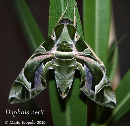 Sfinge dell 39 oleandro daphnis nerii coppia di crisalidi m for Oleandro riproduzione