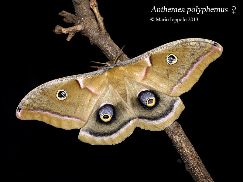 Antheraea polyphemus / Sphinx ligustri (oeufs) Polyphemus-f-001a