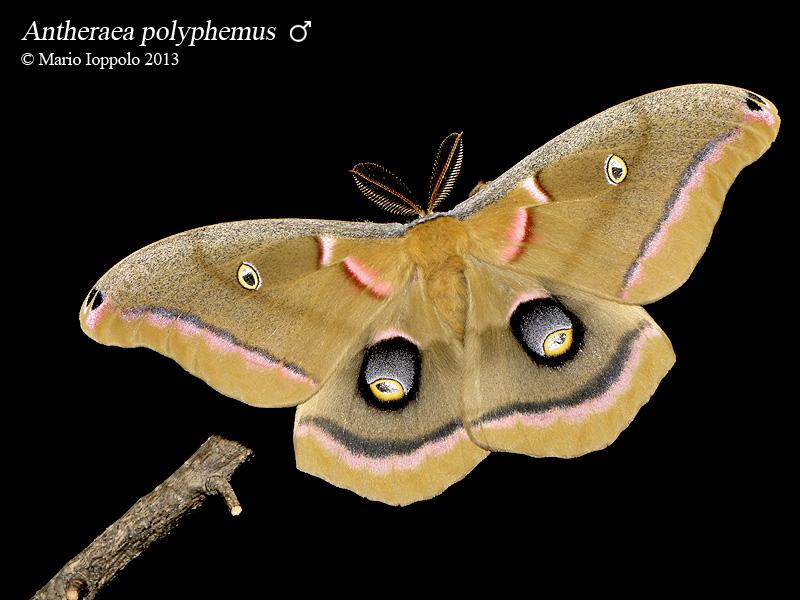Antheraea polyphemus / Sphinx ligustri (oeufs) Polyphemus_M1_2013