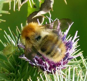 Sfingi ape imitare per avere piu 39 rispetto farfalle - Colorazione dei bruchi ...