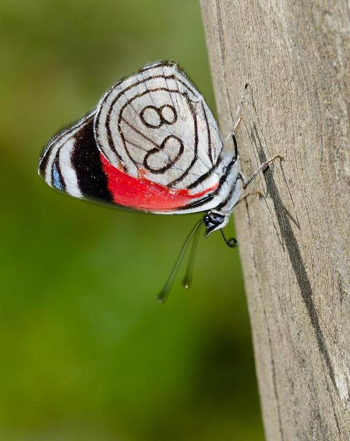 Diaethria farfalle che danno i numeri - Colorazione dei bruchi ...